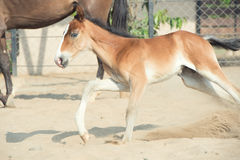 Playing Marwari chestnut colt in paddock. India Royalty Free Stock Photo