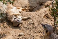 Playing meerkats Stock Photo