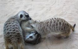 Playing meerkats at zoological garden stock photo