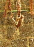 Playing monkey Stock Photos