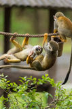 Playing monkeys. Some monkeys are playing together Stock Images