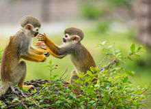Playing monkeys. Some monkeys are playing together Royalty Free Stock Photo