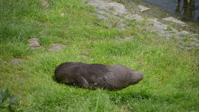 Playing otter stock video footage