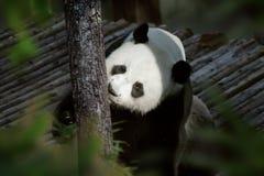 Playing panda Royalty Free Stock Image