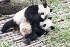 Playing Pandas Royalty Free Stock Photos