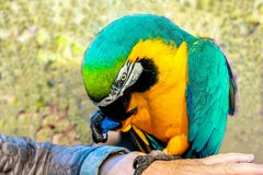 Playing with parrot macaws ( Ara ararauna) Royalty Free Stock Images