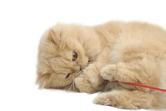 Playing persian cat Royalty Free Stock Images