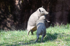 Playing pigs2 Royalty Free Stock Photos