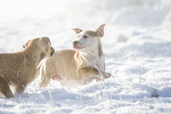 Playing Pit Bull puppies in the snow Royalty Free Stock Photos