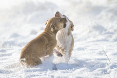 Playing Pit Bull puppies in the snow Royalty Free Stock Image