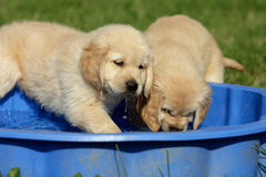 Playing puppies Stock Photography