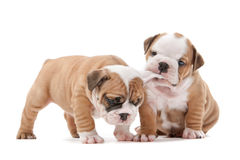 Playing puppies Stock Images