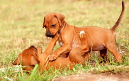 Playing puppies Stock Image