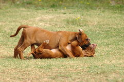 Playing puppies. Two cute seven weeks old Rhodesian Ridgeback hound dog puppies playing together in the backyard outdoors stock images