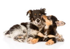 Playing puppies. isolated on white background Royalty Free Stock Image