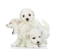Playing puppies of a lap dog. Isolated on white background Royalty Free Stock Image