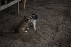 Playing puppies Royalty Free Stock Image