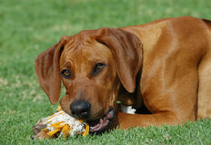 Playing puppy. A beautiful cute little Rhodesian Ridgeback hound puppy dog head portrait with cute expression in the pretty face chewing on toy and watching Stock Image