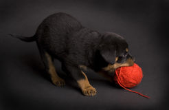 Playing Puppy Stock Photography