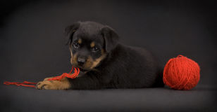 Playing Puppy Stock Photos