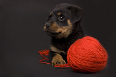 Playing Puppy Royalty Free Stock Images