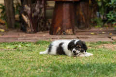 Playing puppy royalty free stock photo