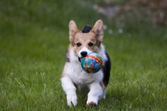 Playing puppy. Small puppy playing with a ball Royalty Free Stock Photos