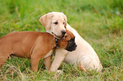 Playing puppys Stock Photography