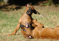 Playing pups. Two young little active Rhodesian Ridgeback dog pups playing together watched by other dogs Royalty Free Stock Images