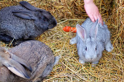 Playing with rabbits Stock Photography