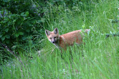 Playing red fox kit. A young red fox kit playing in the grass Royalty Free Stock Photo