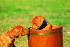 Playing Rhodesian puppies. Two cute little liver nosed Rhodesian Ridgeback hound dog puppies playing in a flower pot in the backyard outdoors Royalty Free Stock Image