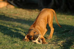 Playing Rhodesian puppy Stock Images