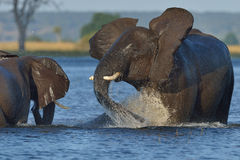 Playing in river. Elephant playing in river in Chobe National Park, Botswana Royalty Free Stock Photos