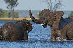 Playing in river. Elephant playing in river in Chobe National Park, Botswana Stock Images