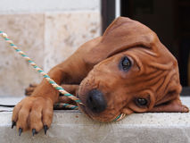 Playing with a rope. In the photo is a dog, Rhodesian ridgeback, puppy. Dog is lying on the side on a concrete balcony. In the snout has he a rope. The dog is Stock Photo