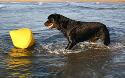 Playing rottweiler. Profil of  purebred mastiff rottweiler: dangerous watching dog in the beach Stock Image