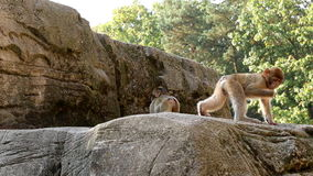 Playing and running young  Barbary Macaques Stock Photo