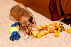 Playing saluki pup Royalty Free Stock Photos