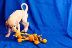Playing saluki pup Royalty Free Stock Photo