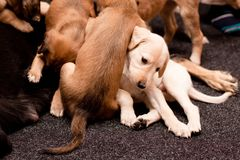 Playing saluki pups Stock Images
