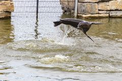 A playing sea lion `flying` above the water.  royalty free stock photography