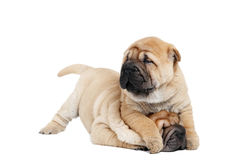 Playing sharpei puppy dog Stock Image