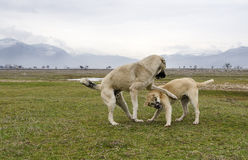Playing sheep dogs. Two shep dogs playing on a meadow Stock Photography