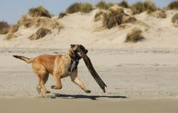 Playing sheepdog Royalty Free Stock Images