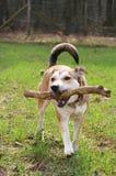 Playing Shepherd Dog. Shepherd dog walking with branch / toy Stock Image