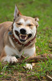 Playing Shepherd dog. Shepherd dog playing with branch / toy Stock Image