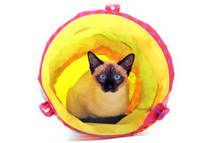 Playing Siamese Cat. Beautiful purebred siamese cat lying down in a tunnel on a white background Royalty Free Stock Images