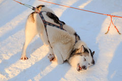 Playing siberian Husky dog black and white color. Winter view Royalty Free Stock Photo