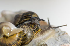 Playing Snails Stock Photo